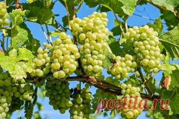 Формируем будущий урожай винограда. Удаление лишних побегов и пасынков. Прищипывание верхушки | Ленивый огород | Яндекс Дзен