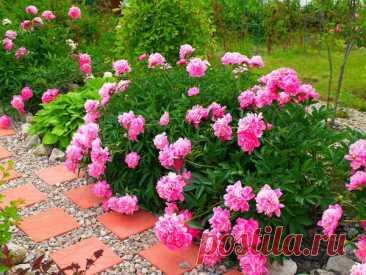 Мой любимый цветник возле дома  Пионы По-моему, сейчас очень сложно представить себе садовый участок без цветов! Свою дачу я восстанавливаю 5 лет, и возле дома у меня появился мой самый большой цветник. Хочется, чтобы цветы радовал…