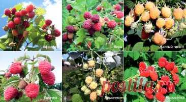 Выбираем сорта малины: самые зимостойкие, самые сладкие, желтоплодные и другие сорта малины на любой вкус на Supersadovnik.ru