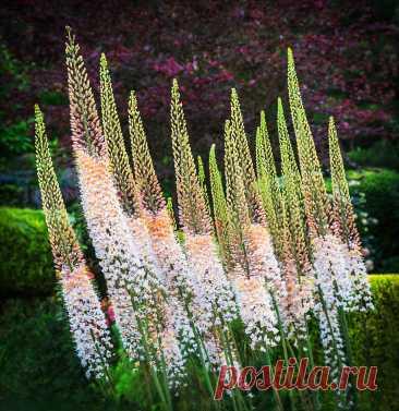 Потрясающая красота для сада - цветы в которые я просто влюбилась | САД | Яндекс Дзен