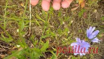 Цикорий и его лечебные свойства