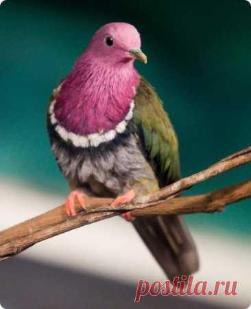 Самые необычные и фантастические голуби со всего света