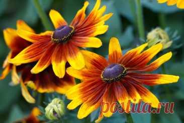 Цветы многолетники для сада неприхотливые долгоцветущие фото и названия