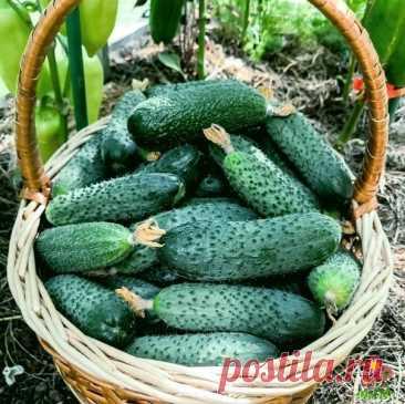 Урожай огурцов будет шикарным до октября. Рассказываю, что нужно сделать в июле.