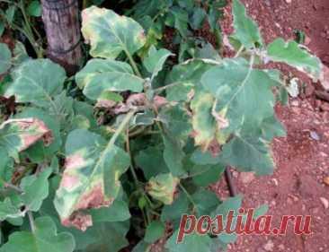 Болезни рассады баклажанов фото и их лечение