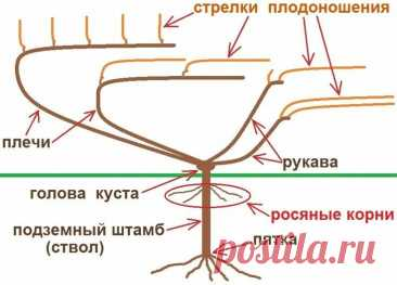 Виноград. Наименование лоз по Пузенко. Правила формовки | УСА | Яндекс Дзен