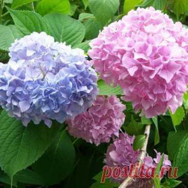 La hortensia de jardín: la foto, los tipos y las clases, la plantación y la partida, la cultivación de la hortensia en el terreno abierto