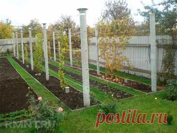 Виноград на даче: видео-инструкция по выращиванию своими руками, какой посадить, фото