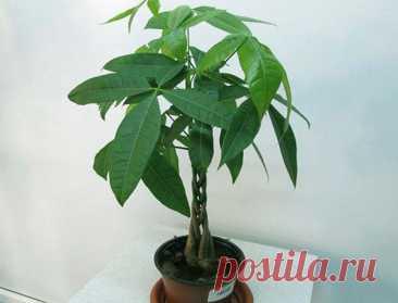 Пахира — уход в домашних условиях Пахира водная, которая чаще всего и выращивается в домашних условиях как комнатное растение, в естественных условиях представляет собой дерево довольно внушительных размеров. Да и как же иначе. Ведь е...