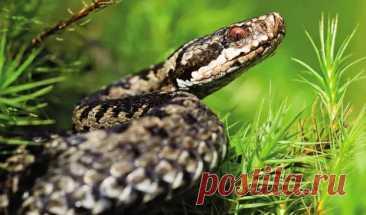 Если укусила змея - первая помощь и что нельзя делать - ЖЕНСКИЙ МИР - медиаплатформа МирТесен