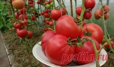 """Посадил томаты по """"китайски"""", теперь не знаю куда все девать Как в Китае выращивают помидоры """"для себя"""". Повторил их способ и теперь один вопрос: куда деть столько урожая"""