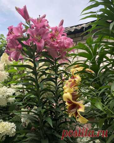 Как ухаживать за лилиями. Как ухаживать:⠀сажаем весной или осенью. Если посадка осенью, в сетку от мышей.⠀делим 1 раз в 4 года⠀подкармливаем при посадке весной и на 2-4 год комплексно⠀поливаем осторожно, лучше сразу посадить в небольшую тень, чтобы почва не пересыхала⠀обрезка после цветения, если выращиваете на...