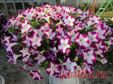 Красавицы-петунии: как сделать так, чтобы они шикарно цвели