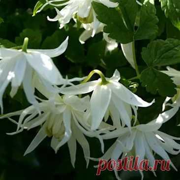 Клематис White Swan  Клематис White Swan (Clematis White Swan) - многолетняя лиана с красивыми цветами для создания уюта в солнечном саду.  Описание. Это очень привлекательный и трогательный сорт. Относится к группе Atragene ( княжики). Мощные, ветвист...