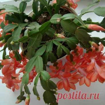 Октябрь - пора подкармливать декабрист. 5 лучших средств для цветения