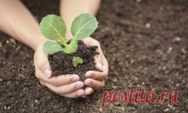 Seedling of cabbage: 12 secrets of cultivation