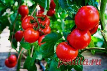 Листва у томатов - удалять или нет? Все о пасынковании овощей » Женский Мир