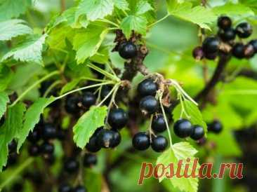 Размножение чёрной смородины зелёными черенками Чёрная смородина благодаря прекрасному вкусу ягод, одновременности их созревания, богатому биохимическому составу, относительной устойчивости к вредителям и болезням, легкости размножения и быстрой пр...