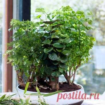 """Комнатное растение Полисциас (Polyscias). Название произведено от греческих слов polys - """"много"""" и skias - """"тень"""" и, возможно, указывает на густоту листьев. Полисциасы требуют высокой температуры и влажности, поэтому хорошо себя они чувствуют только в оранжереях. В комнате выращивать его нелегко - при малейшем изменении условий содержания растение может сбросить листья. Высота полисциаса редко превышает 1,5 м, чаще это штамбовое карликовое деревце высотой 30-40 см."""