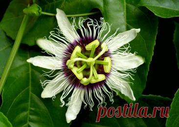 Пассифлора маракуйя: выращивание в Украине ~ Planetalsad