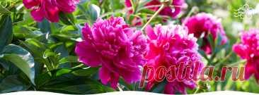 Как правильно ухаживать за пионами весной - Садоводам и огородникам