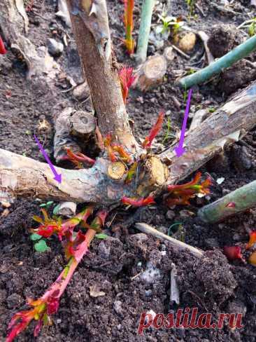 Стимулируем базальные побеги у роз. Подрезка после обрезки + фото   Цветочная няша   Яндекс Дзен