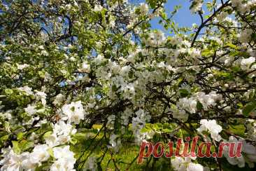 Виды плодовых деревьев, способных расти на Урале, в Сибири и прочих местах, где очень суровые зимы   Азбука огородника   Яндекс Дзен