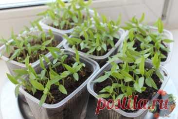 Плохо растет рассада перца – что делать и как помочь растению? Плохо растет рассада перца – что делать, если не идет в рост, чем подкормить, причина, почему не растет, подкормка народными средствами и препаратами