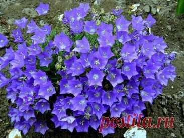 """Как ухаживать за садовыми колокольчиками? Колокольчики садовыеВсе виды колокольчиков неприхотливы, но лучше развиваются на открытых солнечных местах, с хорошо обработанной и удобренной почвой. Эти растения предпочитают защищенные от ветра участки с хорошо обработанными известкованными почвами, не переносят переувложнения. Уход заключается в поливе, прополке и, возможно, подвязке к колышкам. На зиму растение """"колокольчик"""" укрывают лапником. Хорошо отзываются на органические..."""