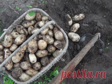 Копаем картошку удобным приспособлением — клубни не повреждает, а во время отдыха заменит скамеечку