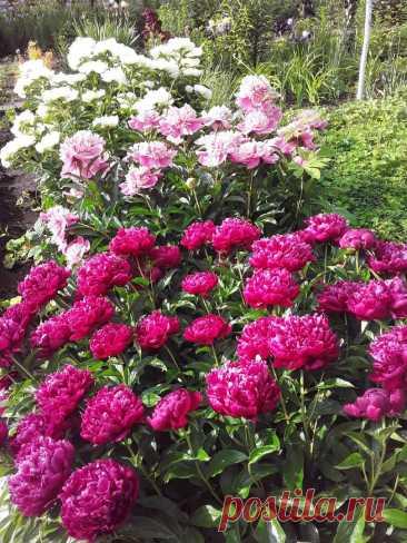 Не пасынок: какой смысл в нормировке пионов на крупное цветение?   Грабельки мои!   Яндекс Дзен