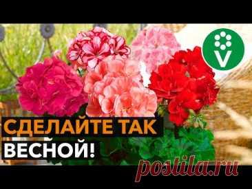 2 приема для ЭФФЕКТНОГО ЦВЕТЕНИЯ пеларгонии!