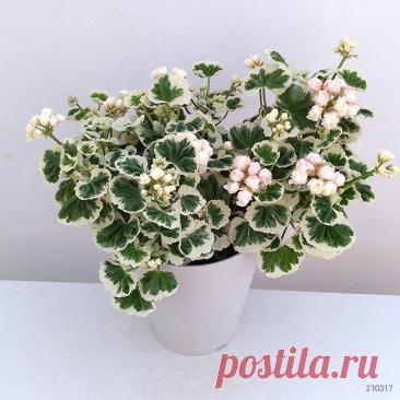 Пеларгония White Wedding. Красота листьев и цветения!   HobbyMix (Елена)   Яндекс Дзен