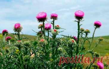 Лекарственное растение Расторопша пятнистая (Silybum marianum). Двулетнее растение высотой 50-150 см. Стебли крепкие, простые или разветвленные. Листья блестяще-зеленые, с белыми пятнами, удлиненно-яйцевидные, выемчато-лопастные, с желтыми шипами. Пурпурные или красно-фиолетовые цветки собраны в одиночные корзинки длиной 4-5 см. Наружные кроющие листья с длинными направленными вниз колючками.