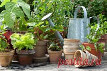 Какие овощи можно пересадить в горшок на зиму, чтобы продолжить сбор урожая | Другие растения (Огород.ru)