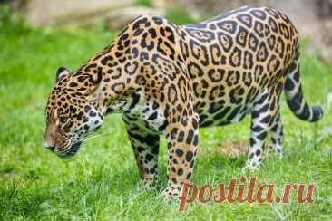 Интересные факты о ягуаре Ягуар – самая крупная кошка Америки и третья по величине в мире, уступая по размеру только тигру и льву. В этой статье мы расскажем читателям всё самое интересное об этих удивительных хищниках …