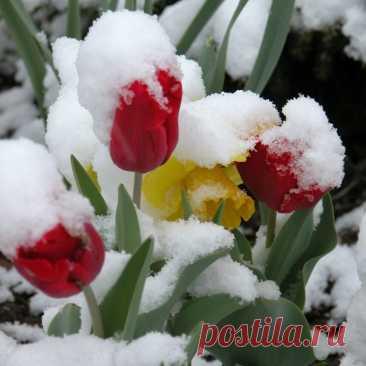 Всем хочется тюльпанов в феврале?