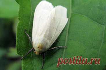 Способы борьбы с белокрылкой на комнатных растениях Белокрылка: описание вредителя Кажется, что небольшие белые бабочки, летающие около горшка с комнатным цветком, совсем безобидные. Но это не так, эти насекомые наносят колоссальный вред растению. Бело...