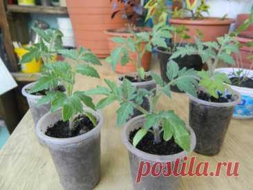 Важные вопросы по выращиванию рассады томатов: почему рассада вытягивается, можно ли сажать 2 растения в одну лунку | Антонов сад - дача и огород | Яндекс Дзен