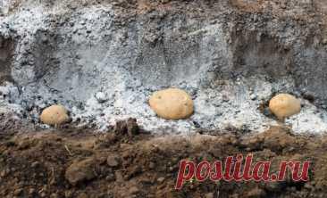 La ceniza de árbol – el abono natural y el medio de la lucha contra los saboteadores | los Asuntos hortelano (Огород.ru)