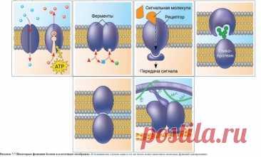 """Мембранные белки и их функции Теперь давайте рассмотрим, из чего состоит """"мозаика"""" в жидкостно-мозаичной модели мембраны. Подобно плиткам мозаики, мембрана предстваляет собой """"коллаж"""" из белков, собранных в группы и располагающихся в жидком матриксе липидного бислоя. Что касается их количества, то, например, для цитоплазматической мембраны эритроцитов на настоящее время описано более 50 видов белков. Показать полностью..."""