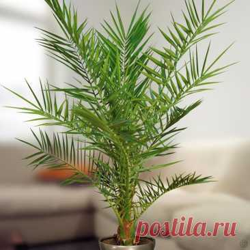 Финик канарский Финик канарский еще именуют финиковая пальма канарская (Phoenix canariensis). Это растение относится к роду финик и к семейству пальмовые (Palmaceae). В природе их можно повстречать в каменистых район...