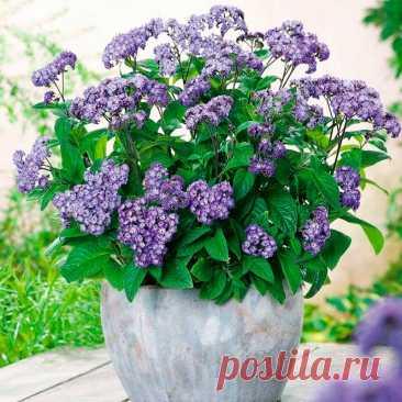 Комнатное растение Гелиотроп (Heliotropum). В России гелиотроп с его характерным запахом ванили был популярным комнатным растением на протяжении всего XIX в., однако позже несколько уступил свои позиции. Цветет это растение обычно с мая по октябрь. Цветки у него голубовато-сиреневого, фиолетового, лилового или белого цветов. Их размер может колебаться от 10 до 20 см.