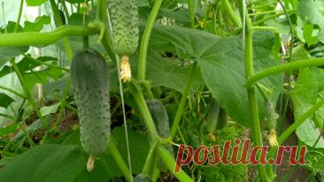 Почему не растут огурцы? 5 ошибок огородников | Дачная фанатка | Яндекс Дзен