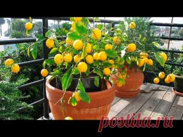 LEAVING AND MISTAKES AT CULTIVATION OF THE LEMON