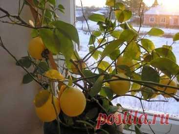 Лимон сбрасывает листья — что делать и как его оживить Почему растение сбрасывает листья Знакомые нам цитрусы – лимоны, мандарины, апельсины – происходят из влажных субтропиков. Привычный для них климат – влажное солнечное лето и умеренно тёплая зима. Лим...