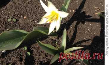 Las flores del marzo. Los tulipanes botánicos y... Otros bulboso