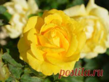 Летняя посадка роз Лето – это не только волшебная пора, когда можно любоваться цветением прекрасных роз, но и подходящее время, чтобы наконец устроить розарий на своем приусадебном участке, если вы об этом давно мечтаете. Давайте вспомним основные нюансы, каких условий требует капризная королева сада. И что нужно сделать, чтобы кусты хорошо и быстро принялись, не болели и благодарили за уход пышным цветением.