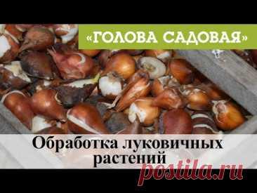 Голова садовая - Обработка луковичных растений