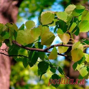 Лекарственное растение Осина (Populustremula). Дерево высотой от 5 до 20 м, на севере и юго-востоке Европы даже до 35 м. Ствол прямой, кора желто-коричневая, гладкая, с возрастом на ней образуются мелкие продольные трещины. Листья висячие, почти круглые или яйцевидные, по краям крупно и неравномерно-зубчатые, на длинных сплющенных черешках. Растение двудомное. Цветки собраны в длинные висячие сережки, чешуйки сережек по краям сильно опушены. Плоды зеленовато-коричневые.